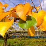 梨の黄葉  2015.11.11
