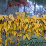 ヤマノイモの黄葉  2015.11.12