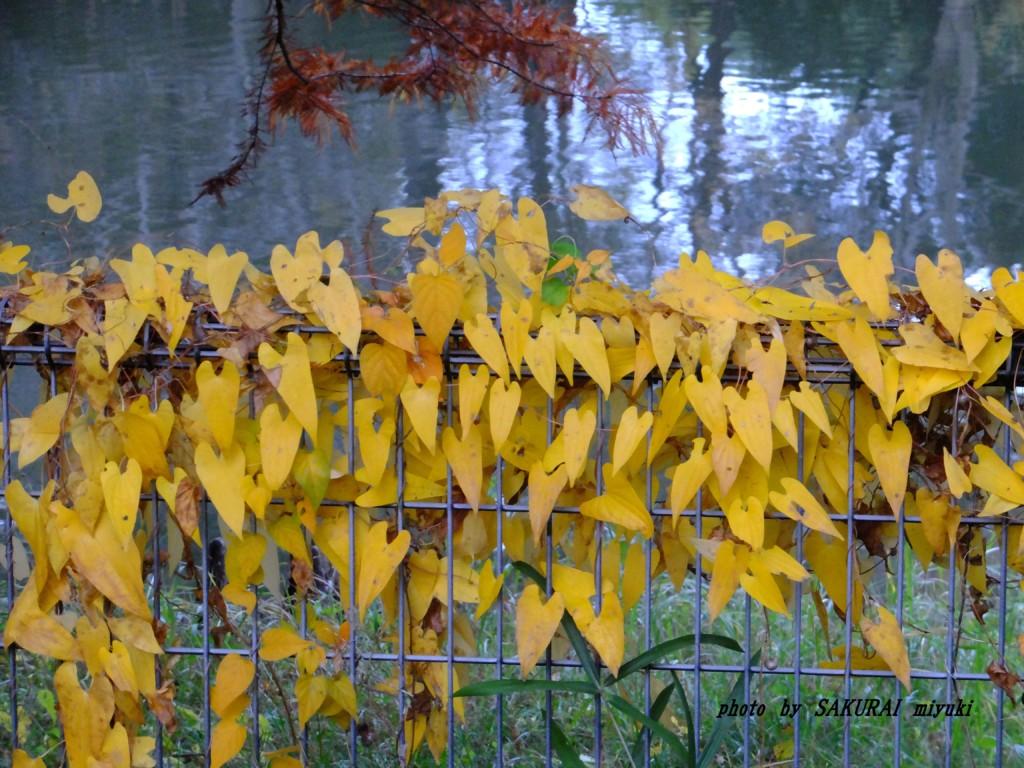 ヤマイモの黄葉  2015.11.12