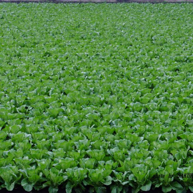うちの前の白菜畑 2015.11.18
