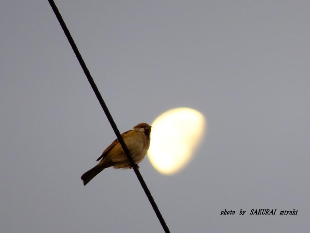 月とスズメ  2015.12.1