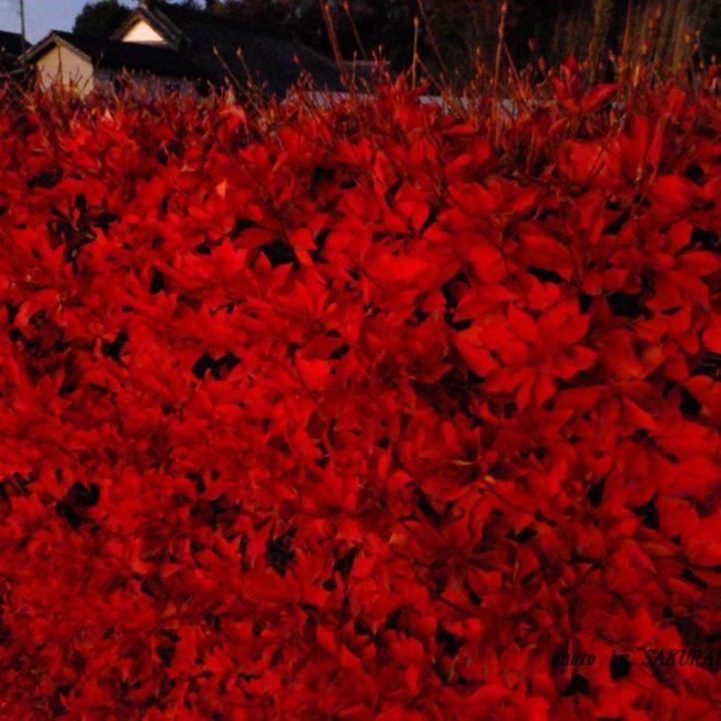 ドウダンツツジ紅葉 2015.12.5