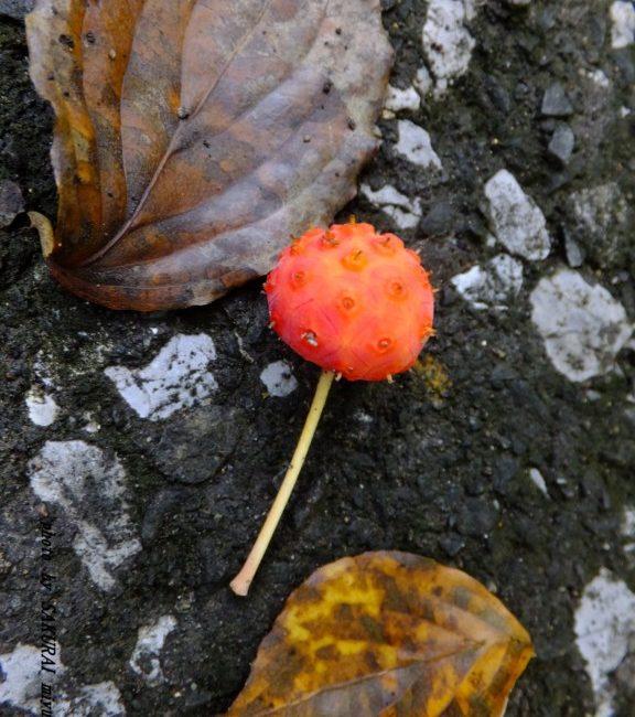 ヤマボウシの果実 2015.8.27