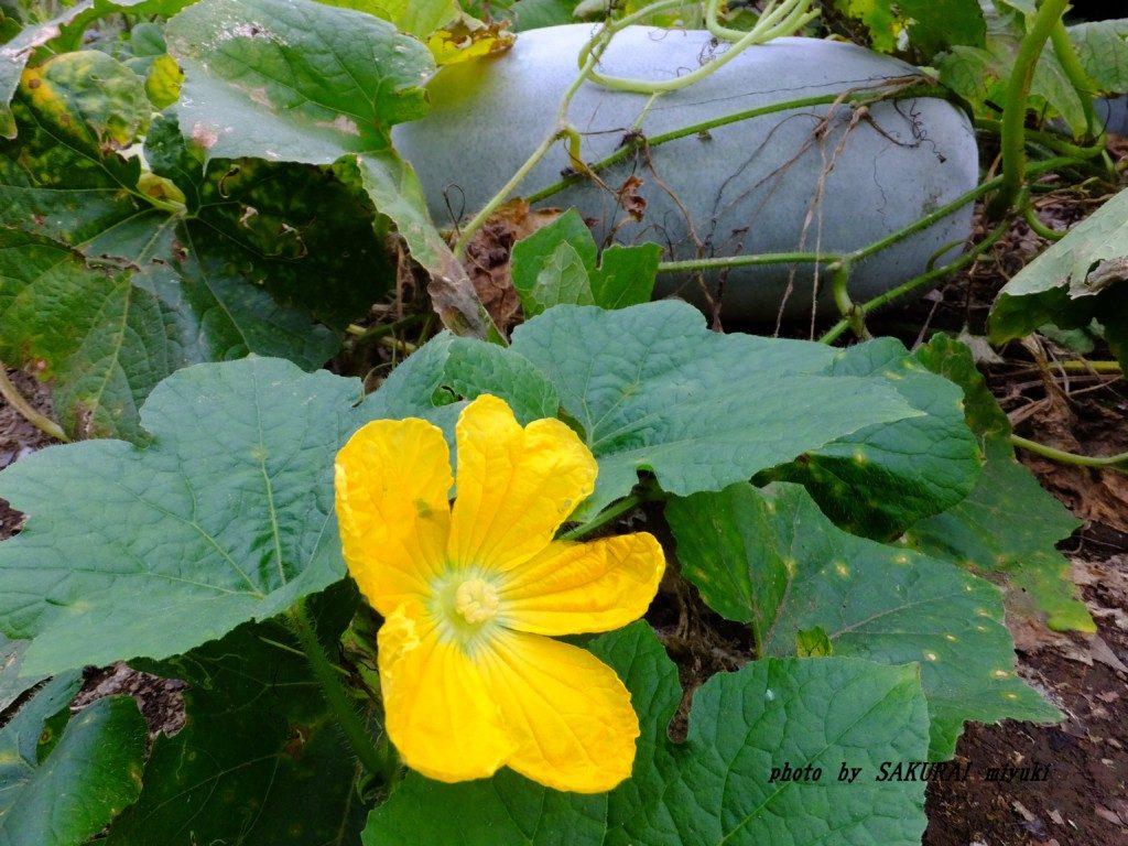 トウガンの花 2015.8.28