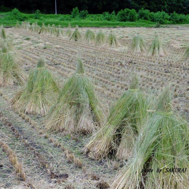 稲刈り終了 2015.8.28