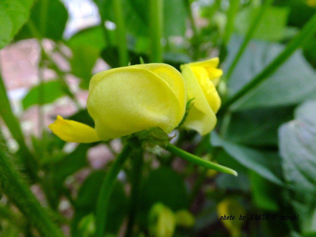 アズキの花 2015.9.6