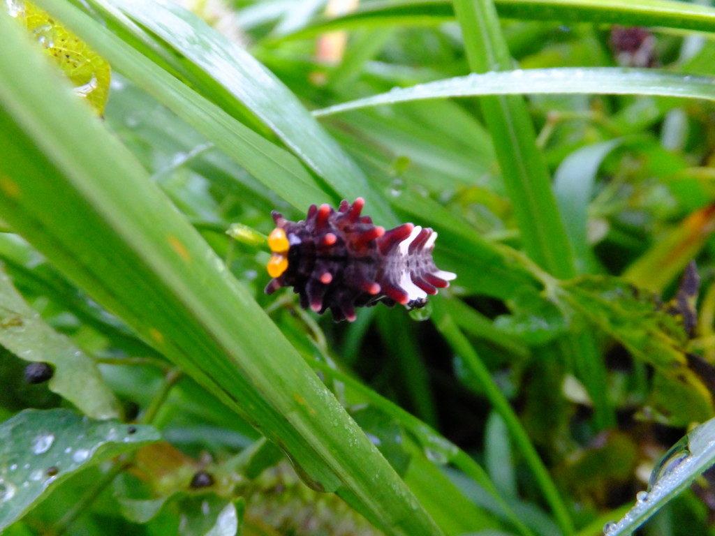 ジャコウアゲハ幼虫 2015.9.11
