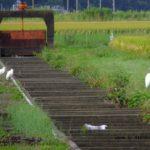 コサギ(左)とダイサギ 2015.9.21