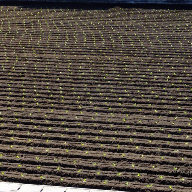 定植済んだ白菜畑 2015.9.22