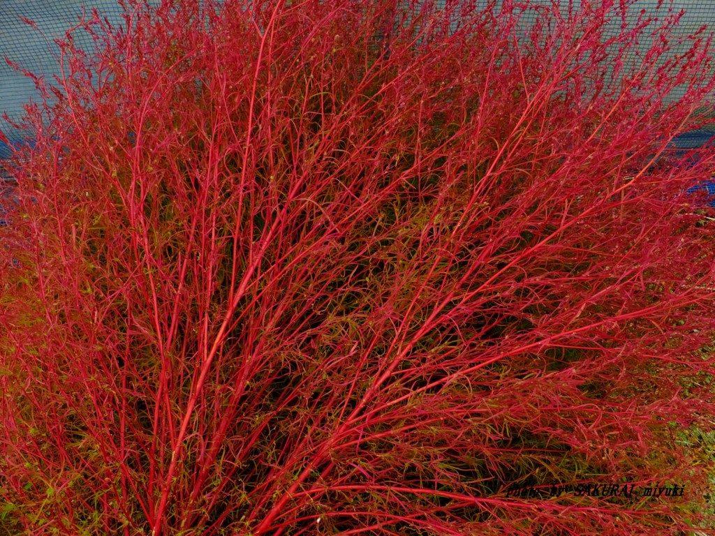 紅葉したコキア 2015.10.5