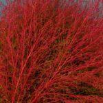 素敵なほうきにしたい紅葉したコキア(ホウキグサ) 2015.10.5 栃木県小山市