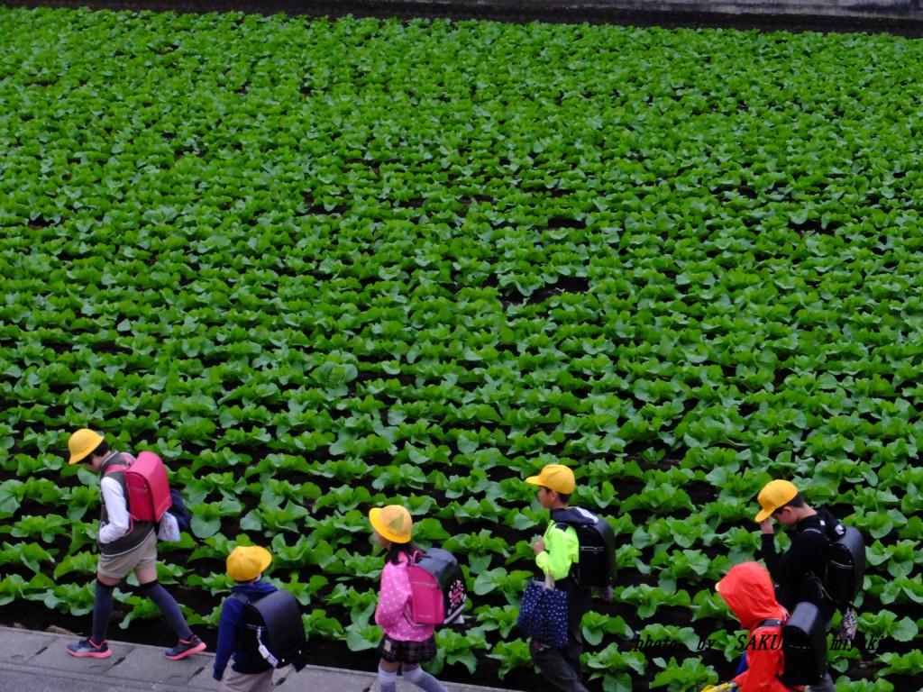 白菜畑を行く小学生 2015.10.23