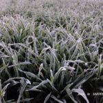 霜のビール麦  2016.1.13