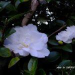 白いサザンカ  2015.12.27