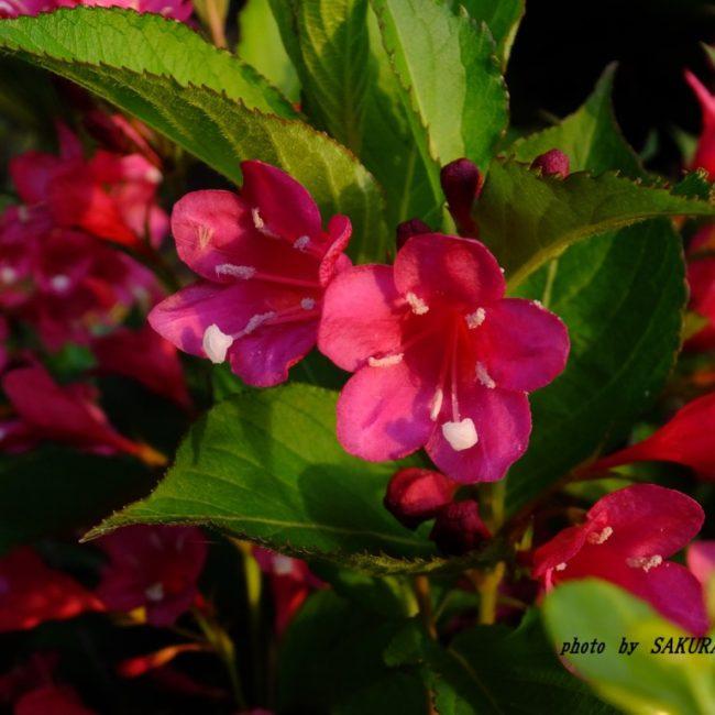 ベニバナツクバネウツギ  2015.5.22