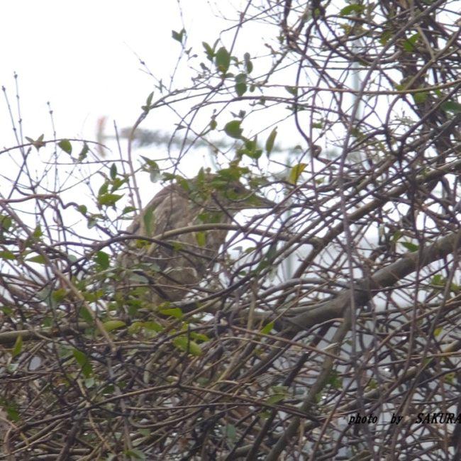ゴイサギ幼鳥  2016.2.21