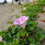 ハマヒルガオ  2015.5.31 三浦海岸