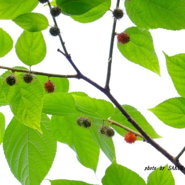 コウゾの果実  2015.6.8