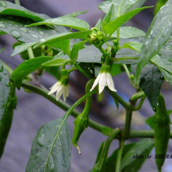 トウガラシの花  2015.6.24