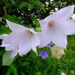 白いキキョウ  2015.7.6