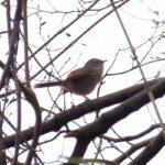 野鳥撮影ノート5 ウグイス  Cettia diphone  BUSH WARBLER