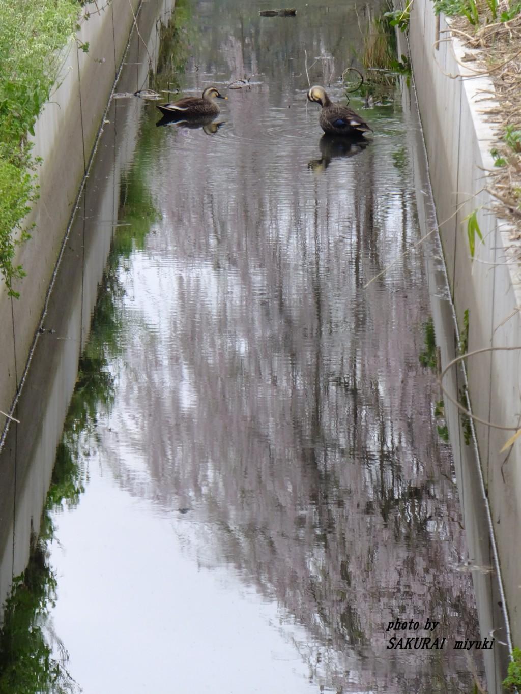 カルガモと枝垂れ桜の水鏡 2015.4.1