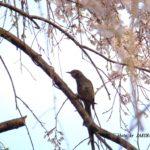 枝垂れ桜とヒヨドリ  2015.4.2  栃木県小山市