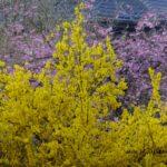 スゴイ勢いのレンギョウの花  2015.4.2  栃木県小山市