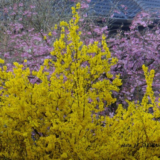 レンギョウの花  2015.4.2