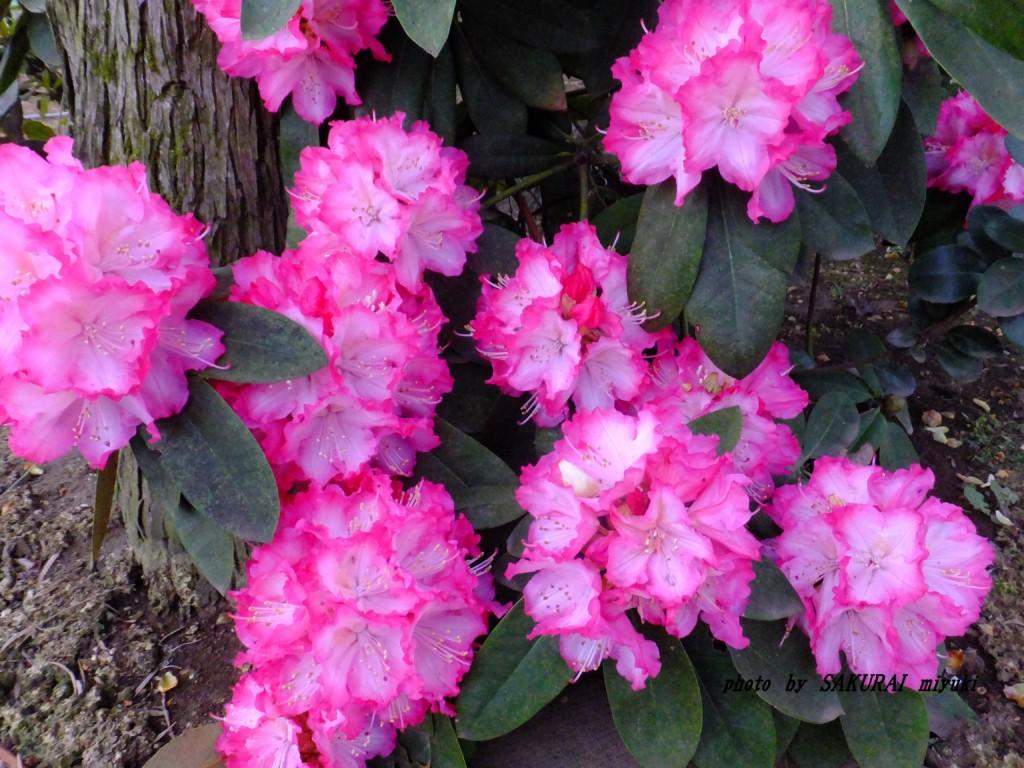 シャクナゲ園芸種  2015.4.3