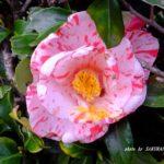 ツバキ園芸種  2015.4.3  栃木県小山市
