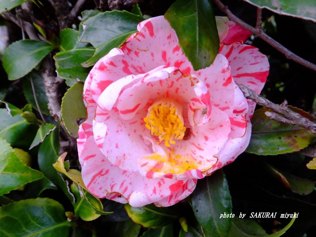 ツバキ園芸種  2015.4.3