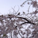 枝垂れ桜とシジュウカラ  2015.4.3  栃木県小山市