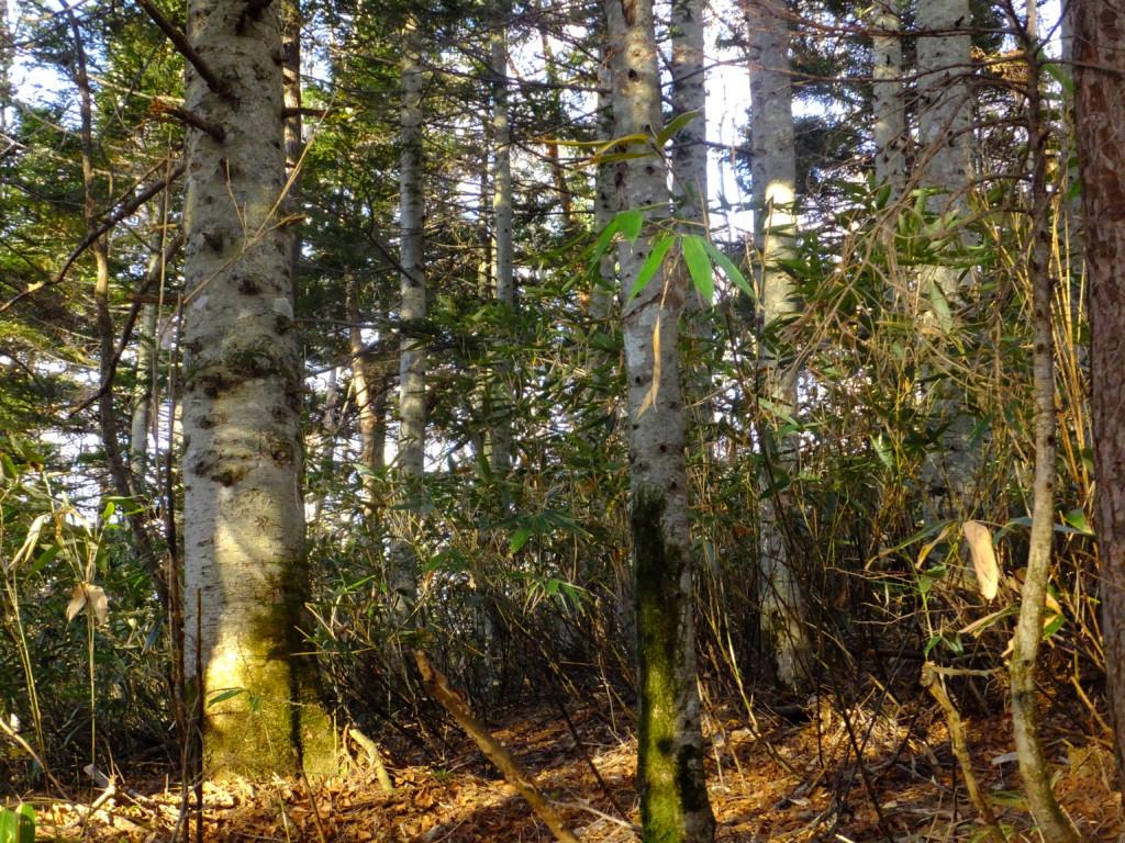 オオシラビソの森  2016.10.25
