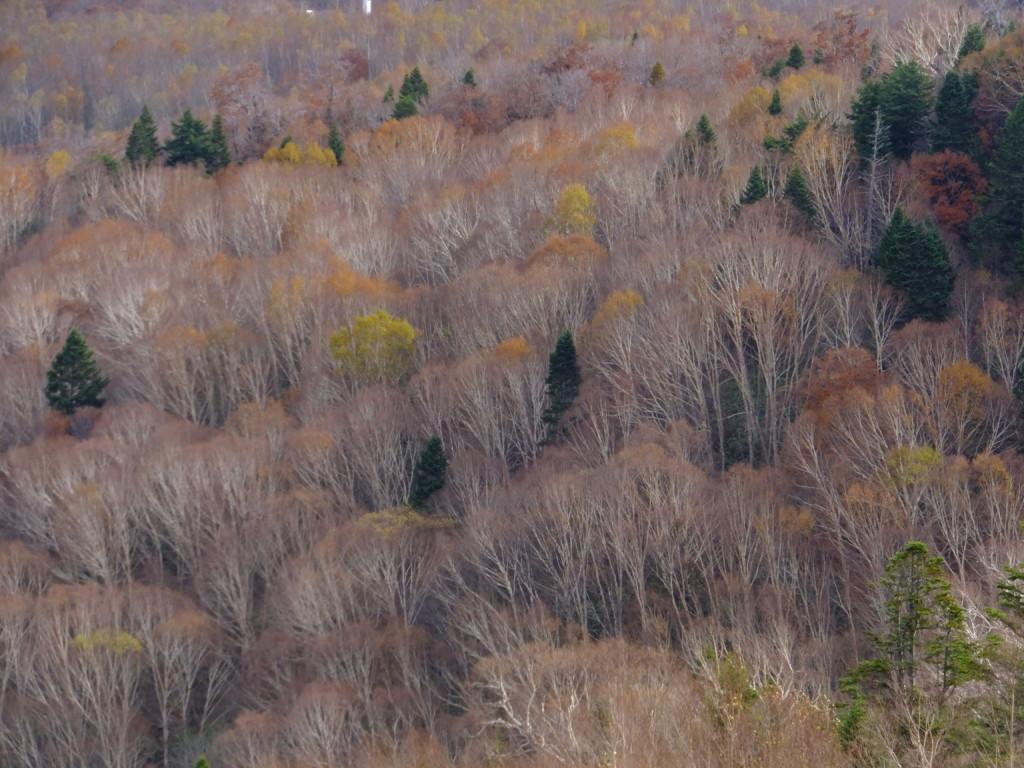 ダケカンバの森を見ながら下る