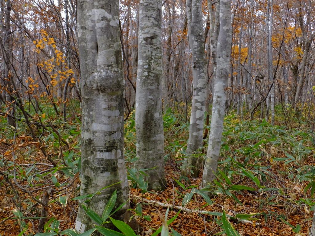 若いブナの林 樹齢50年以下