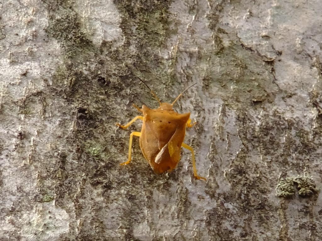 ブナの木を登るツノカメムシの仲間