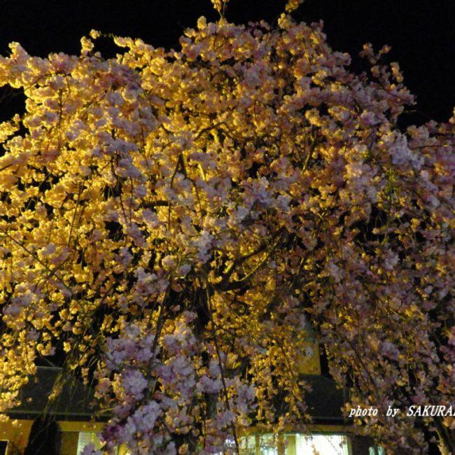夜桜見物  2015.4.3