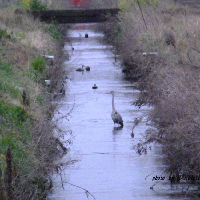 アオサギ  2015.4.5