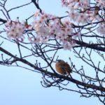 桜とホオジロ  2015.4.6  栃木県小山市