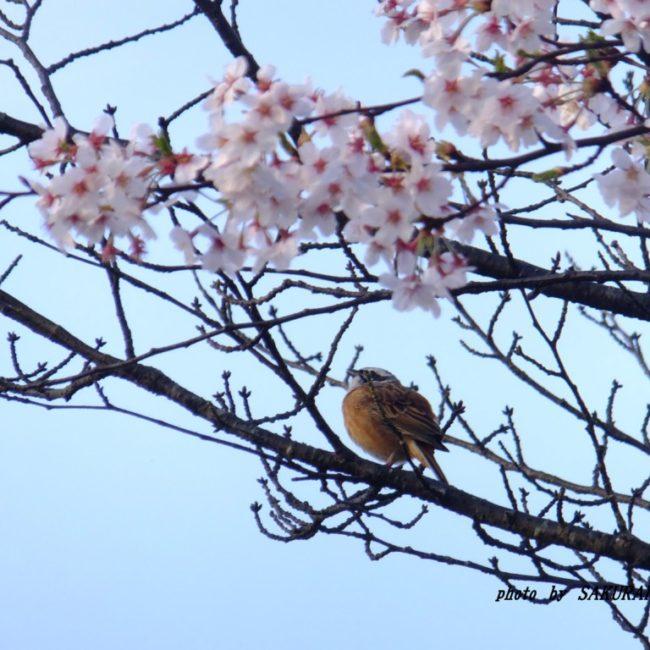 桜とホオジロ  2015.4.6