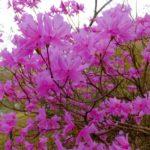ミツバツツジ  2015.4.10  栃木県小山市
