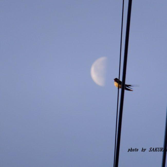 月とツバメ  2015.4.12
