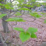 天に向けた葉っぱ  2015.4.13  栃木県小山市