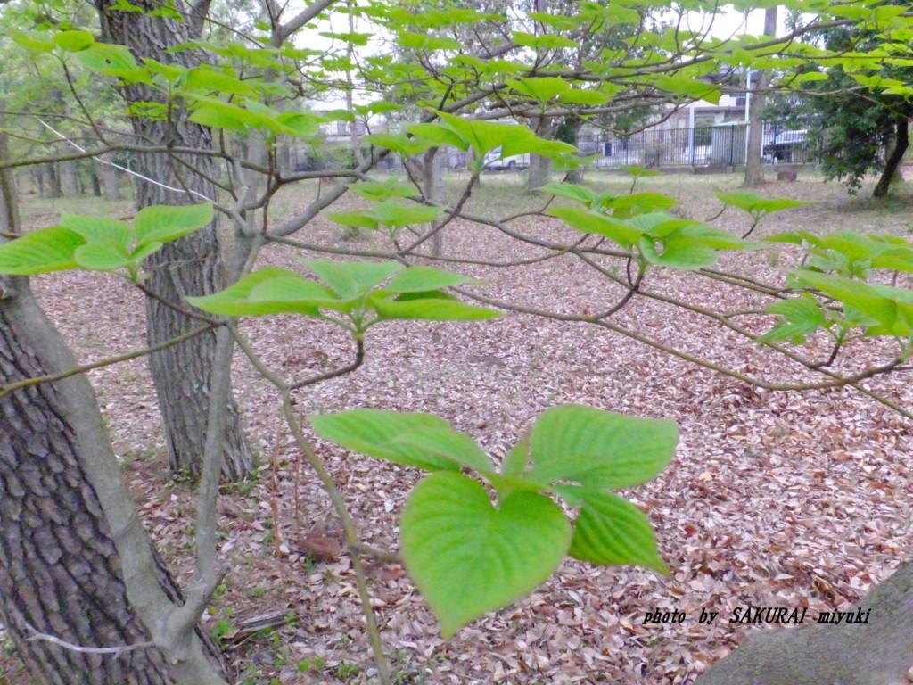 天に向けた葉っぱ 2015.4.13