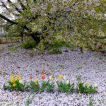 ヤマザクラの花びら畑に咲くチューリップ 2015.4.13  栃木県小山市