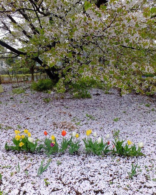 ヤマザクラの花びらとチューリップ 2015.4.13