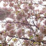 まだ桜(イチヨウ)  2015.4.14 栃木県小山市