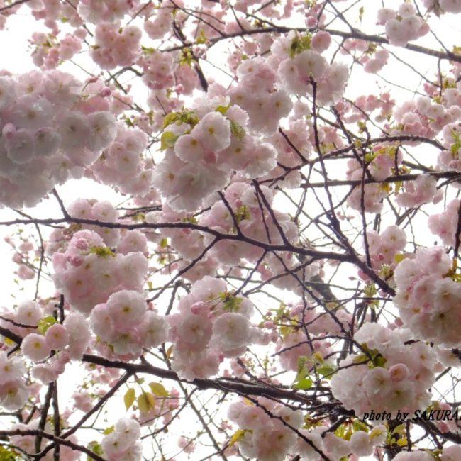 桜  2015.4.14