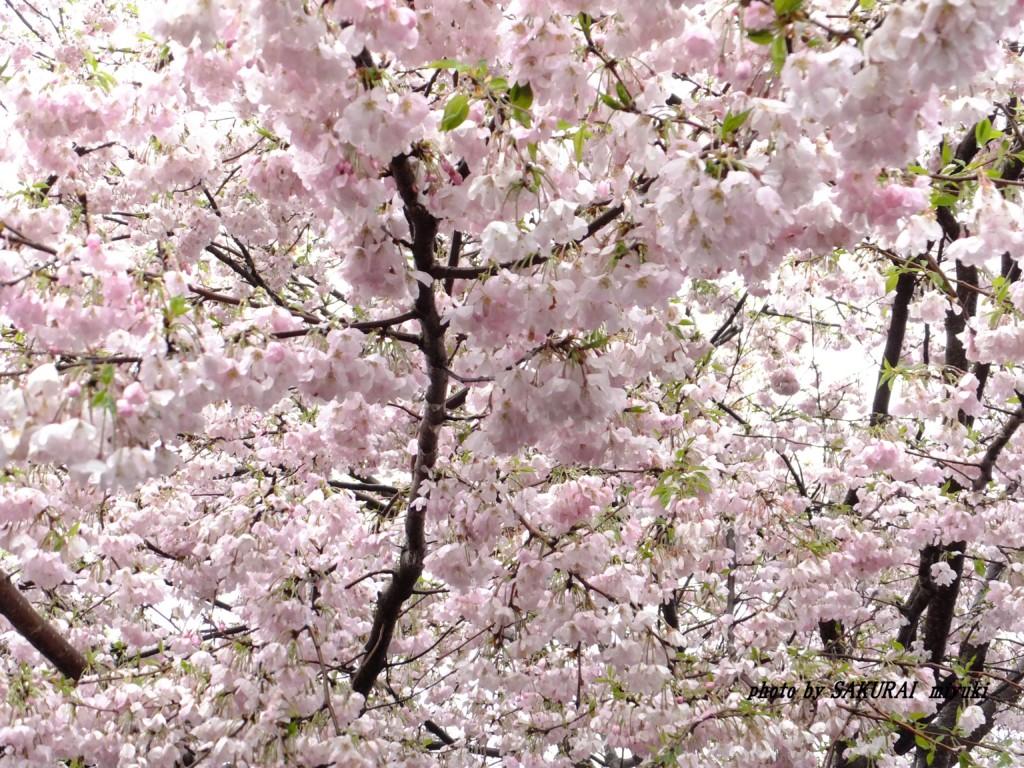 おもいがわ桜  2015.4.15